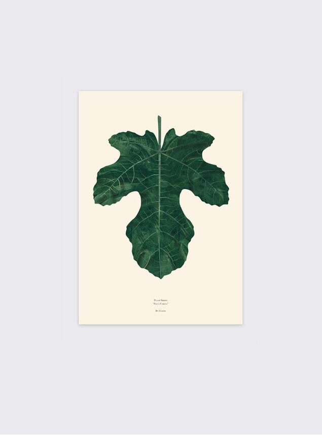 Ficus Carica Fig Leaf
